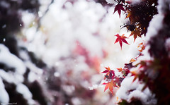 Change of the season. (March Hare1145) Tags: 雪 snow 冬 秋 winter autumn 紅葉 モミジ colorful japan 日本