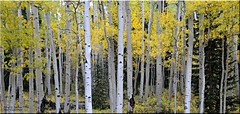 Autumn Aspens [Explored] (Windows to Nature) Tags: