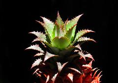 Ananas bracteatus (Edson Roberto - Potim) Tags: abacaxi bromeliaceae ananasbracteatus