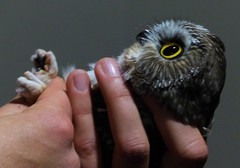 Northern Saw-whet Owl (Aegolius acadicus) Banding Demonstration (Nature In a Snap) Tags: northern sawwhet owl aegolius acadicus tiny bird birding nature wildlife birdwatching banding demonstration informational migration fall education mercer nj new jersey 2016 wild