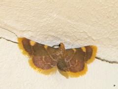 Svilnis Hypsopygia costalis (Mimi Serada) Tags: hypsopygiacostalis insects moth