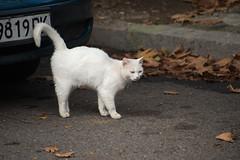 (akk_rus) Tags: 70300mmf4556gvr nikkor70300mmf4556gifedafsvr nikkor 70300mm nikon d800 nikond800 bulgaria   europe  burgas  pet pets nature animals streetcats straycats cat cats chat chats animal feline gato