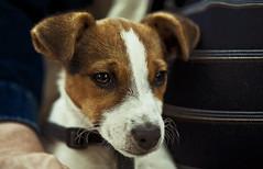 Poppy the Puppy (majestiele.co.uk) Tags: norfolk broads puppy poppy eyes ears portraits hand human canine dof dog jack russell terrier