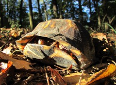 Eastern Box Turtle In Fall (Lisa Zins) Tags: lisazins tn tennessee wildlifeoftennessee wildanimals outdoors macro turtle shell reptile eastern box easternboxturtle tccarolina carapace omnivore terrapene terrapenecarolinacarolina common commonboxturtle autumn fall wildlife leaves animal petsandanimals canon powershot sx500