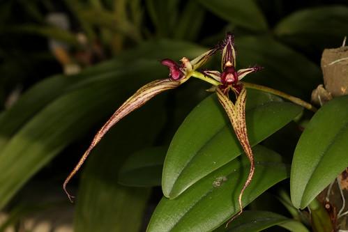 Bulbophyllum appendiculatum 2016-07-09 01