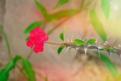 98/365... Aprendes a querer la espina o no aceptes Rosas! #365Days #365Dias #365PhotoProject (cristianyocca) Tags: 365days 365photoproject 365dias