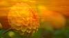 Erinnerung.... (AstridSusann) Tags: 2in1 sunsetflower flowerpower orange outdoor mix germany
