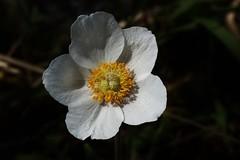 Wild Flower (Hugo von Schreck) Tags: hugovonschreck wildblume flower blume blte macro makro wildflower outdoor canoneos5dsr tamronsp90mmf28divcusdmacro11f017 onlythebestofnature givemefive