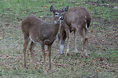 20161204-00059 (Wes Edens) Tags: deer whitetail nature