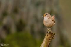 Strzyyk, Eurasian Wren (Troglodytes troglodytes) ... 2016r (Rafa Szozda) Tags: birds nature animals wildlife colors spring nikon d7200 nikkor200500 nowasol lubuskie poland