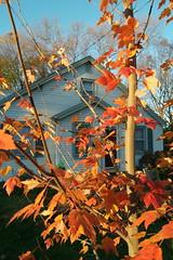 SAM_1853 (falcon170ct) Tags: autumn fall leaves redoak