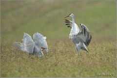 Crane dance (Earl Reinink) Tags: crane sandhillcrane earl reinink earlreinink nature naturephotography wildlifephotography nikon nikond5 dance dancing mating hheahuaara bird