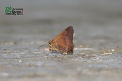 The Pale-tailed Awl -  (Antonio Giudici Butterfly Trips) Tags: thailand nakhonsithammarat khaoramrome butterflies lepidoptera thepaletailedawl  hesperiidae pyrginae hasoramyrafunebris