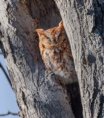Eastern Screech-Owl (snooker2009) Tags: eastern screechowl bird nature wildlife pennsylvania raptor