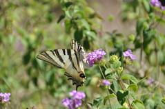 DSC_9167 (nosallo) Tags: macro mariposa nikon d5000 sigma18250 sigma 18250