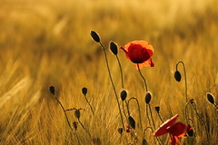 Pulizia!!! (3) (SimonaPolp) Tags: 20052016 flower poppy sunset wheat field spring nature may light sunlight