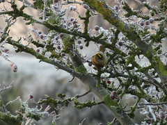 Goldcrest on the towpath between the canal and PEarsons Flash. First time I've photographed one of these guys! (stevencarruthers93) Tags: greenheart wigan nature wildlife wiganflashes winter