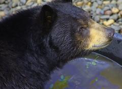 Black Bear (swong95765) Tags: bear black animal zoo water eyes alert huge dangerous