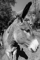 A new friend (Todd Bryan) Tags: donkey animal esel