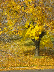 BRILLIANT GLORY (photodittmer) Tags: tree yellow atumn fall leaves