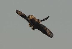 Lets dance! (Chris Bainbridge1) Tags: asioflammeus shortearedowl fighting territorial dispute inflight