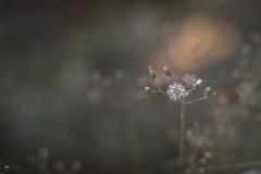 Winter Morrow (Sid da' Cool) Tags: bloom bloomingflower bokeh flower grassflower macro wildflower virar maharashtra india in