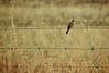 Little Grassbird, hff! (holly hop) Tags: farmfence fence fencefriday paddock dry summer farm hff grassbird australia bird centralvictoria drygrass emu grass wire inexplore explored explore nature serene