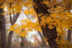 Autumn colours (ancarcotu) Tags: nature trees leaves autumn otoo yellow fallingleaves relax serenity forest park aranjuez jardindelprincipe madrid spain 50mm canon canon80d