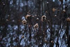 (quercus et calluna) Tags: plant flower deadplant deadflower dryplant winter nature snow snowflakes wind windy blue white forest trees evening eveninglight dark darkness