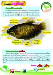 ปลาสลิด ลักษณะ รูปร่าง ตามธรรมชาติ