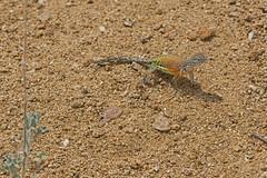 Greater Earless Lizard (Stephen J Pollard (Loud Music Lover of Nature)) Tags: lagartijasordamayor greaterearlesslizard cophosaurustexanus reptile réptil animal nature naturaleza fauna wildlife