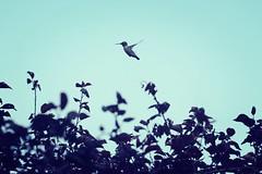 Happy hummingbird #Flying (KaseyEriksen) Tags: blue bird nature animal canon outside hummingbird outdoor rebelt3