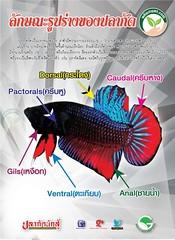 ปลากัด ลักษณะ รูปร่าง ตามทางธรรมชาติ