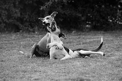 Sam & Edu (alessandrafavetto) Tags: blackandwhite bw dog pet playing dogs animal cane photography play perros dogphotography petphotography
