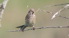 Linotte mlodieuse, Af (R, 2014-05-04_25) (th_franc) Tags: oiseau linottemlodieuse