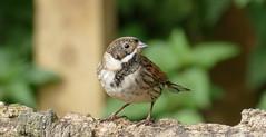 REED BUNTING (gwahambarker) Tags: wildlife bcn trust