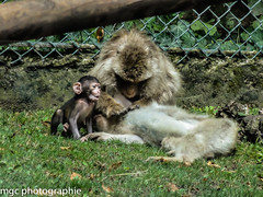Ouh l (m-g-c photographie) Tags: baby france nature animal animals landscape zoo monkey photo europe outdoor wildlife ngc mgc paysage animaux bb primates singe macaque dehors babymonkey exterieur saintaignansurcher zoodebeauval staignansurcher animalsauvage babymacaque bbsinge bbmacaque extrieur groupedemacaque groupofmacaque zooofbeauval