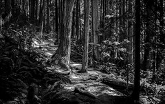 Forest Path (evanffitzer) Tags: trees blackandwhite bw monochrome vancouver forest outdoors coast path britishcolumbia branches roots run deepcove cedars evanffitzer evanfitzer fujix100s