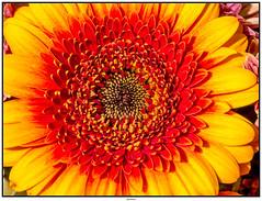 Gerbera (tuxoche) Tags: flickr gerbera jahr genre facebook geolocation 2015 macrophotos bellephotos veröffentlicht exif:make=panasonic macroaddict camera:make=panasonic mu43 exif:focallength=45mm exif:aperture=ƒ63 exif:lens=leicadgmacroelmarit45f28 2published google2048 camera:model=dmcg6 exif:model=dmcg6 hqspmacro exif:isospeed=160 pushflickrcommunity hqspflower googlereshares btpmacropro artistamatuerprofessional shared2015 0flickrpublished 1pinterestpublished 082015s fbmakro2015