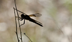 Widow Skimmer -- Female (Libellula luctuosa); Albuquerque, NM, Tingley Beach Park [Lou Feltz] (deserttoad) Tags: park newmexico nature insect pond dragonfly skimmer odonate