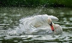 Water games (marypink) Tags: summer water swan estate pov avifauna spruzzi cignoreale 80400mmf4556 laghidimantova fiumemincio nikond7200