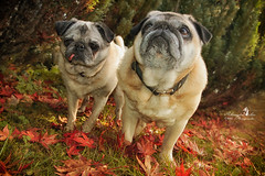 Herbst im Garten (Schneeglöckchen-Photographie) Tags: autumn dog herbst pug hund mops