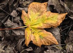 Autumn.Fall.Color-2.jpg (Eye of G Photography) Tags: trees orange usa green leaves yellow fallcolors places whidbeyisland northamerica washingtonstate