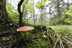 IMG_2967-Modifier (mycenium) Tags: mushroom automne canon belgium belgique region foret brabant champignon 6d wallon wallonie 2015 grez grezdoiceau wallone doiceau