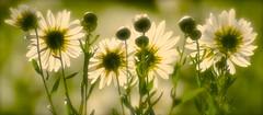 Soft White (Edinburgh Photography) Tags: nature outdoors landscape flowers plants edinburgh botanical gardens nikon d7000