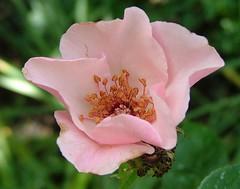 Pretty In Pink (jHc__johart) Tags: arboretum opagc opksarboretum kansas