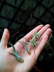 Tillandsias: Caput- Medusae // Ionantha var. stricta (hug0ncalves) Tags: airplant tillandsias babys pups tillandsiaionanthavarstricta tillandsiaionanthafuego