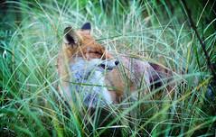The Fox ... (gabrielgs) Tags: fox vos nature photography fotografie natuurgebied natuurfotografie panneland natureresurve animals movie dutch wildlife duinen dieren vossen wildlifephotography thenetherlands closeup natuur