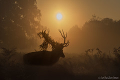 Today's sunrise (Sue MacCallum-Stewart) Tags: stag reddeer richmondpark surrey sunrise antlers
