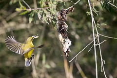 sunbird and nest (Jim Bendon) Tags: bendon 800mmf56 sunbird northqueensland wyvuristation